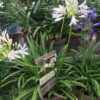 Horpestad Plantesalg * Agapanthus
