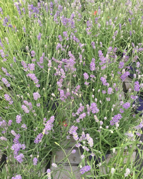 Horpestad Plantesalg * Lavendel