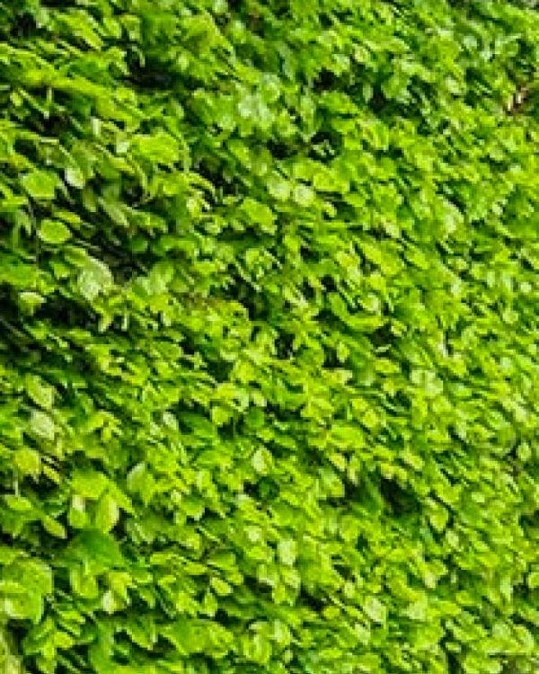 Horpestad Plantesalg * Uteplanter - Busker > Bøk