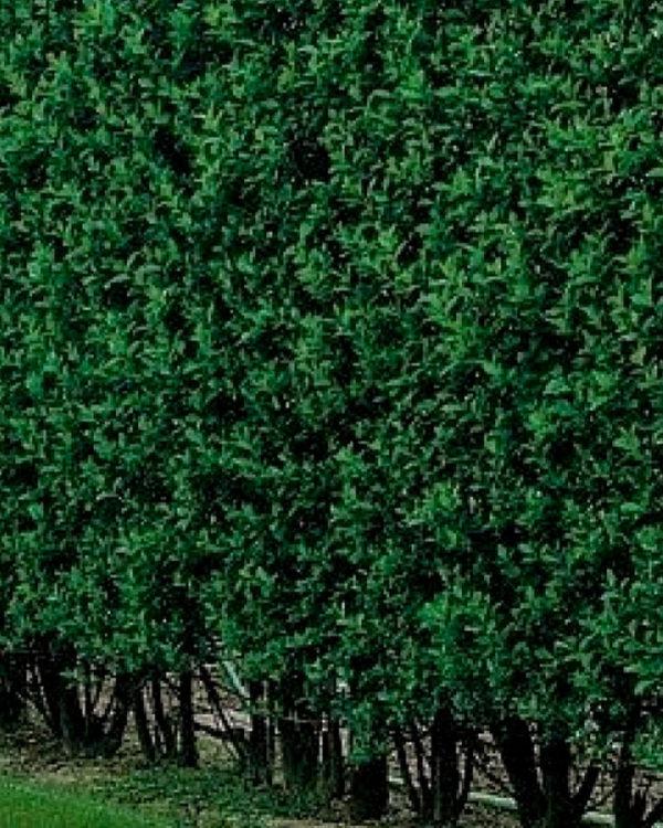 Horpestad Plantesalg * Uteplanter - Busker > Liguster