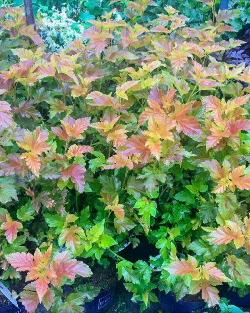 Horpestad Plantesalg * Uteplanter - Busker > Physocarpus Opulifolius Amber Jubilee