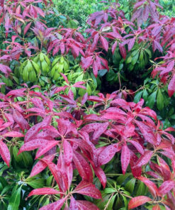 "Horpestad Plantesalg * Uteplanter - Busker > Pieris Japonica ""Katsura"""