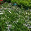 Horpestad Plantesalg * Uteplanter - Busker > Prostanthera Cuneata Gimle Peppermyntebusk