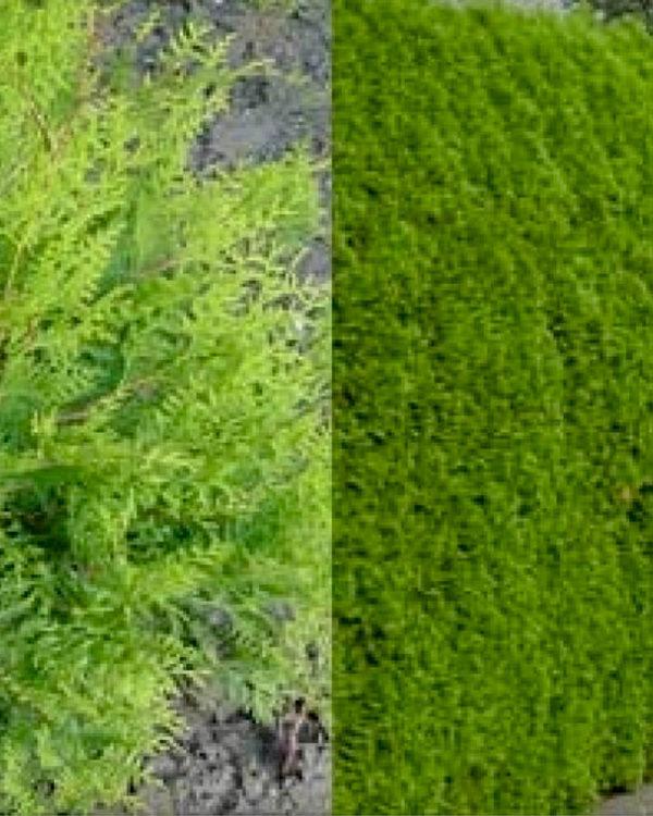 Horpestad Plantesalg * Uteplanter - Busker > Thuja