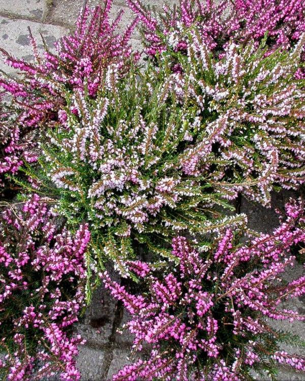Horpestad Plantesalg * Uteplanter - Busker > Uteplanter Stauder - Lyng