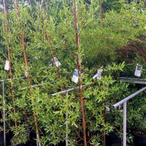 Horpestad Plantesalg * Uteplanter - Trær > Prydtre