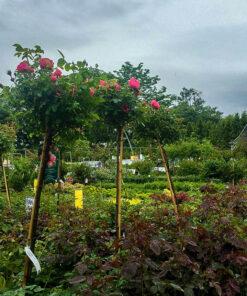 Horpestad Plantesalg * Uteplanter - Trær > Stammerose