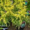 Horpestad Plantesalg * Uteplanter - Vintergrønne > Cryptomeria Japonica