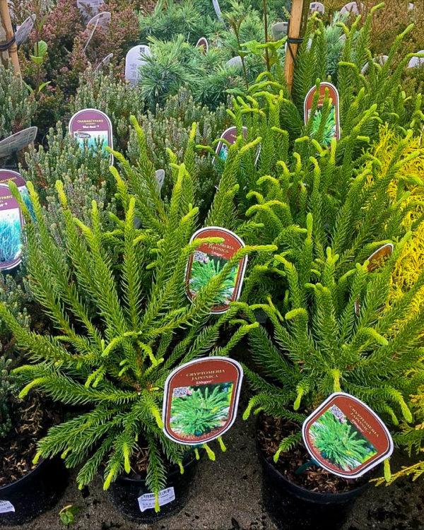 Horpestad Plantesalg * Uteplanter - Vintergrønne > Cryptomeria Japonica Dinger