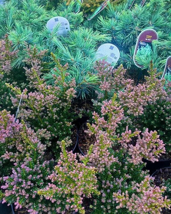 Horpestad Plantesalg * Uteplanter - Vintergrønne > Podocarpus Alpinus