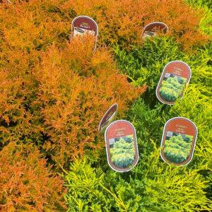 Horpestad Plantesalg * Uteplanter - Vintergrønne > Thuja Occidentalis og Juniperus Media