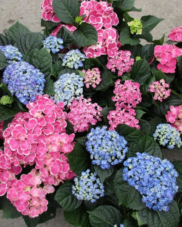 Horpestad Plantesalg * Hortensia i flere farger