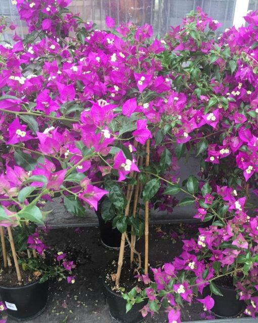 Horpestad Plantesalg * Bougainvillea - vakre lilla blomster