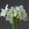 Horpestad Plantesalg * Juleblomster > Amaryllis