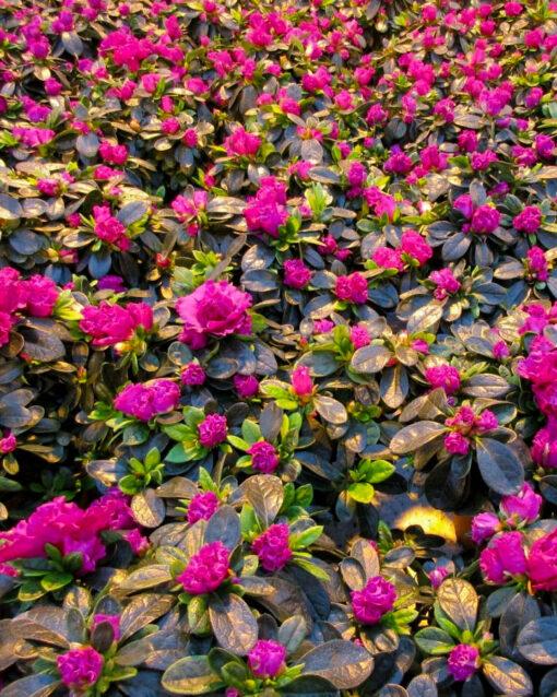 Horpestad Plantesalg * Juleblomster > Azalea