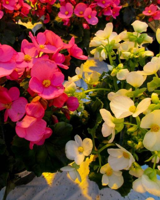 Horpestad Plantesalg * Juleblomster > Juleglede