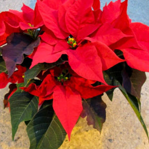 Horpestad Plantesalg * Juleblomster > Julestjerne