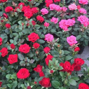 Horpestad Plantesalg * Potterose - rose i potte
