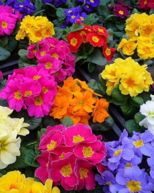 Horpestad Plantesalg * Primula