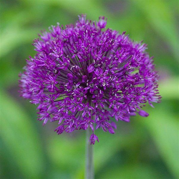 """Horpestad Plantesalg * Allium """"Purple Sensation"""" Kirgisløk"""