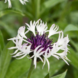"Horpestad Plantesalg * Centaurea ""Amethyst in Snow"" Honningknoppurt"