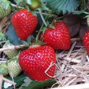"Horpestad Plantesalg * Fragaria ""Korona"" Jordbær"