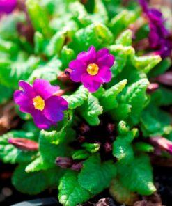 "Horpestad Plantesalg * Primula Juliae ""Wanda"" Pudeprimula"