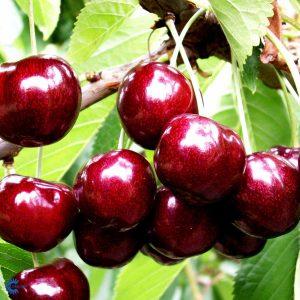 """Horpestad Plantesalg * Prunus Avium """"Skeena"""" Kirsebær """"Skeena"""""""