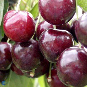 "Horpestad Plantesalg * Prunus Avium ""Stella"" Kirsebær ""Stella"""