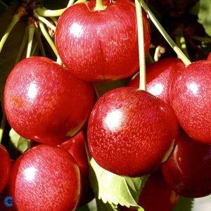 "Horpestad Plantesalg * Prunus Avium ""Sunburst"" Kirsebær ""Sunburst"""
