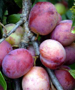 "Horpestad Plantesalg * Prunus Domestica ""Opal"" Plomme"