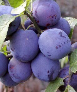 "Horpestad Plantesalg * Prunus Domestica ""Plum Me"" Plomme"
