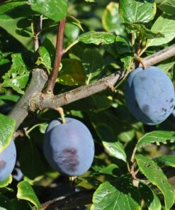 """Horpestad Plantesalg * Prunus Domestica """"Tophit"""" Plomme"""