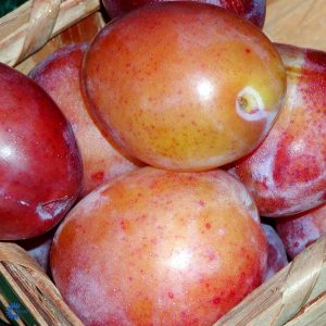 "Horpestad Plantesalg * Prunus Domestica ""Victoria"" Plomme"