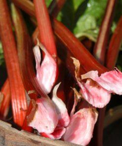 "Horpestad Plantesalg * Rheum ""Fulton's Strawberry Surprise"" Rabarber"