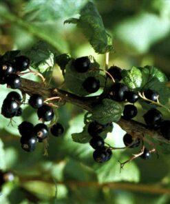 """Horpestad Plantesalg * Ribes nig. """"Ben Alder"""" Solbær"""