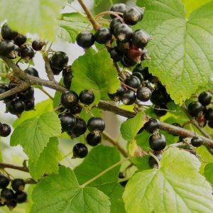 """Horpestad Plantesalg * Ribes nig. """"Öjebyn"""" Solbær"""