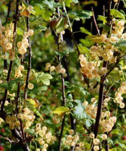 """Horpestad Plantesalg * Ribes rub. """"Hvit Hollandsk"""" Hvit Solbær"""