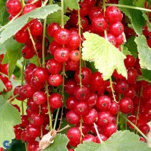 "Horpestad Plantesalg * Ribes rub. ""Jonkheer van Tets"" Solbær"