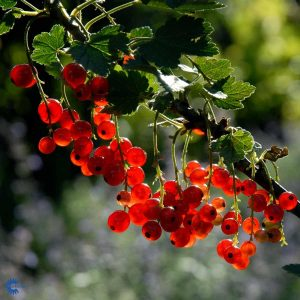 """Horpestad Plantesalg * Ribes rub. """"Rød Hollandsk"""" Solbær"""