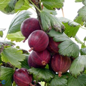 "Horpestad Plantesalg * Ribes uva cri. ""Captivator"" Rød Stikkelsbær"