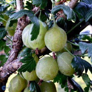 "Horpestad Plantesalg * Ribes uva cri. ""Gul Hinnonmäki"" Gul Stikkelsbær"
