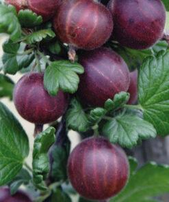 """Horpestad Plantesalg * Ribes uva cri. """"Rød Hinnonmäki"""" Rød Stikkelsbær"""