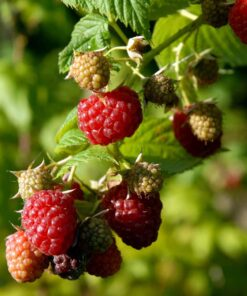 "Horpestad Plantesalg * Rubus frut. ""Autumn Bliss"" Ettårig (høstbærende) Bringebær"