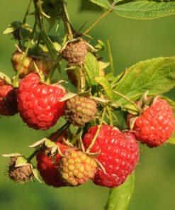 "Horpestad Plantesalg * Rubus frut. ""Mormors Hallon"" Sommer Bringebær"