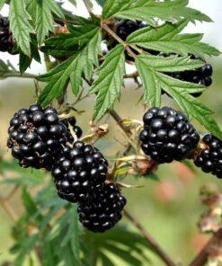 """Horpestad Plantesalg * Rubus frut. """"Oregon Thornless"""" Torneløs Bjørnebær"""