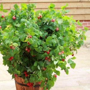 "Horpestad Plantesalg * Rubus frut. ""Ruby Beauty"" Kompakt Sommer Bringebær"
