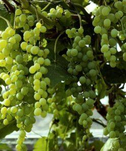 """Horpestad Plantesalg * Vitis """"Himrod"""" Grønn Vindrue"""