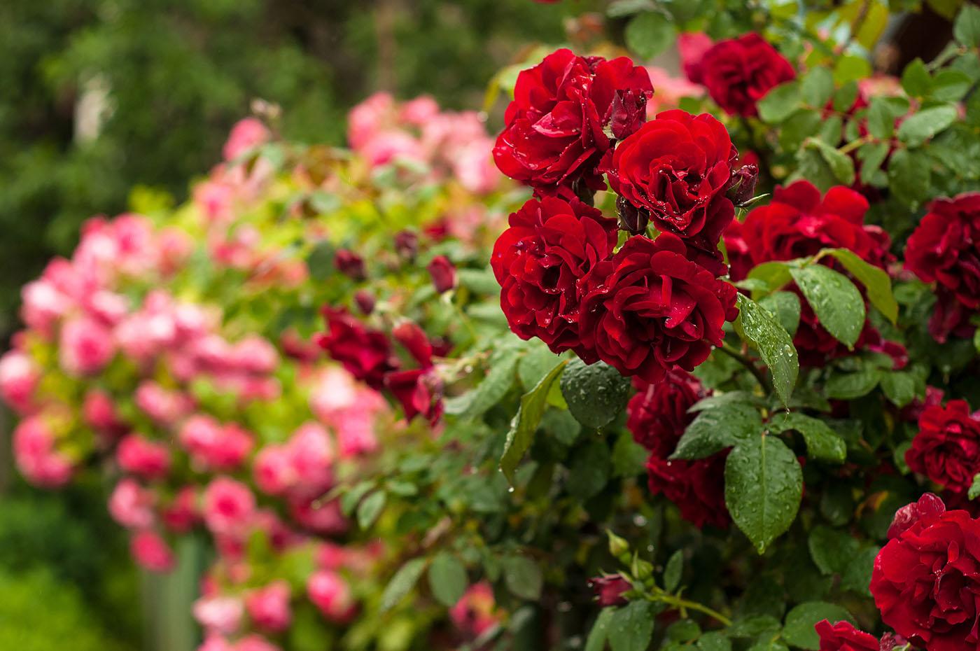 Horpestad Plantesalg * Hageroser - Rosebusker